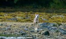 Tracking Coastal Wolves in Canada