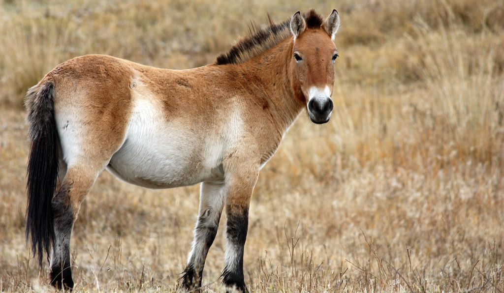 Przewalski's horse, the only truly wild horse.