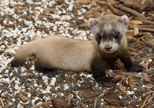 Help Name the National Zoo's Baby Black-Footed Ferret ...
