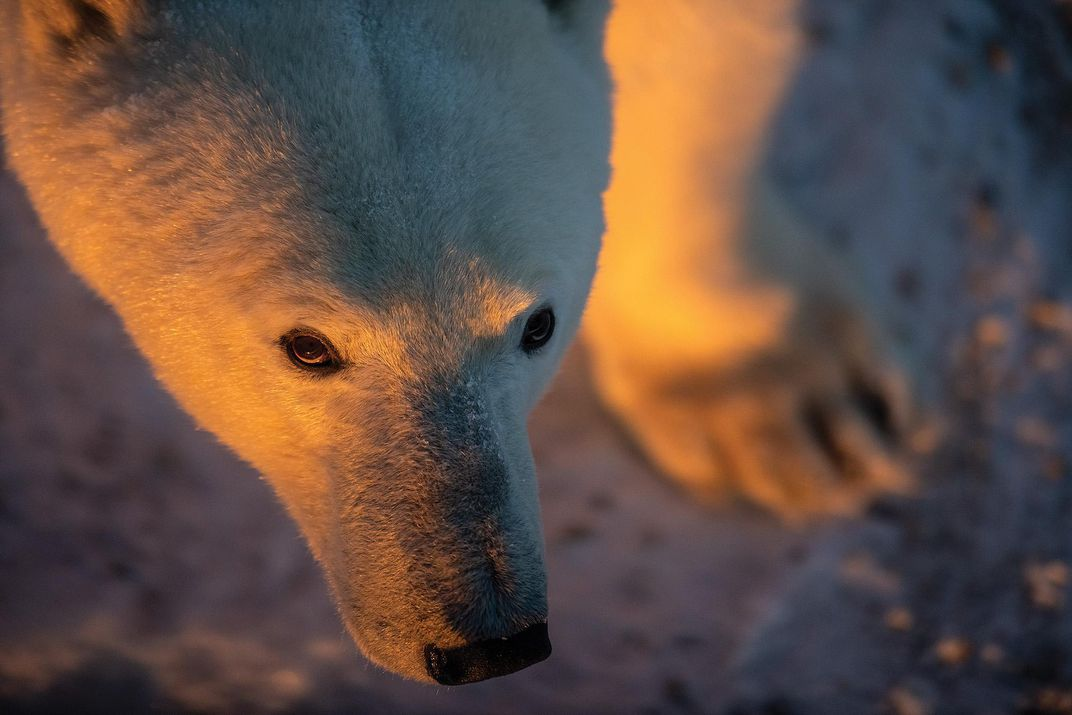 Beautiful light on polar bear