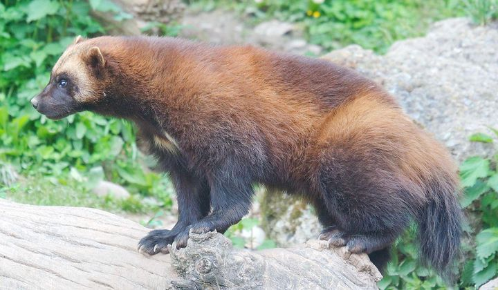 Wolverine Spotted By Yellowstone Trail Cameras