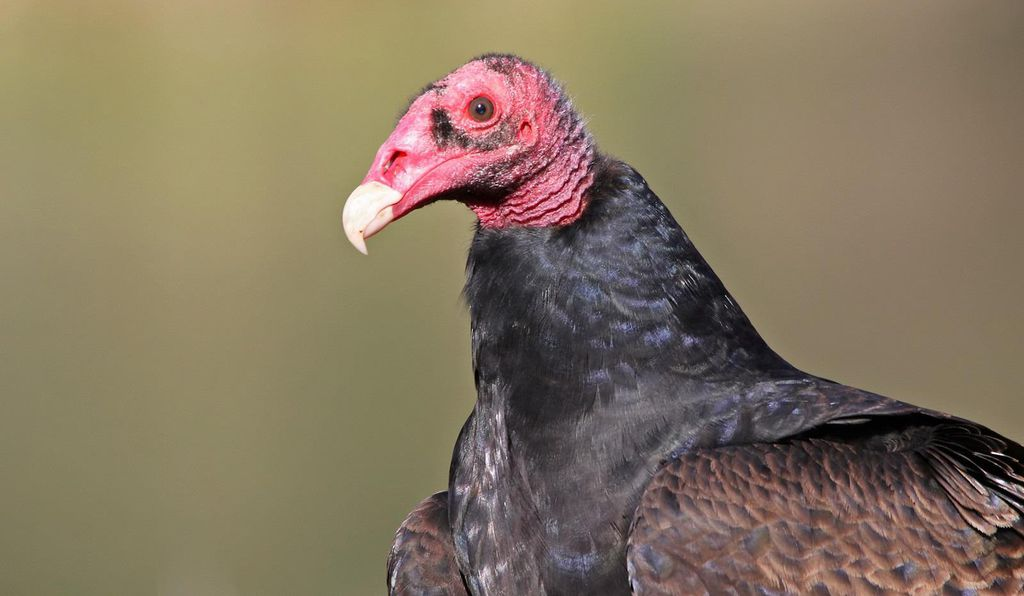 Turkey Vultures Have a Keen Sense of Smell and Now We Know Why | At