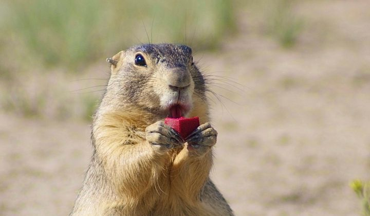 Plague-Infected Prairie Dogs Close Denver Parks