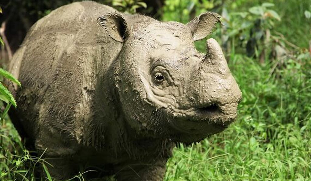 Tam, a 30- to 35-year-old male Sumatran rhino, died Monday following a period of poor health