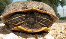 Hibernating Turtles Are Still Aware of What's Going on Around Them