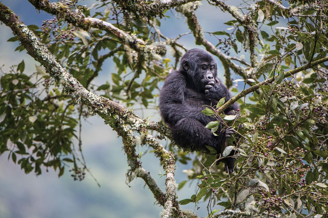Juvenile in the Bwindi Impenetrable National Park