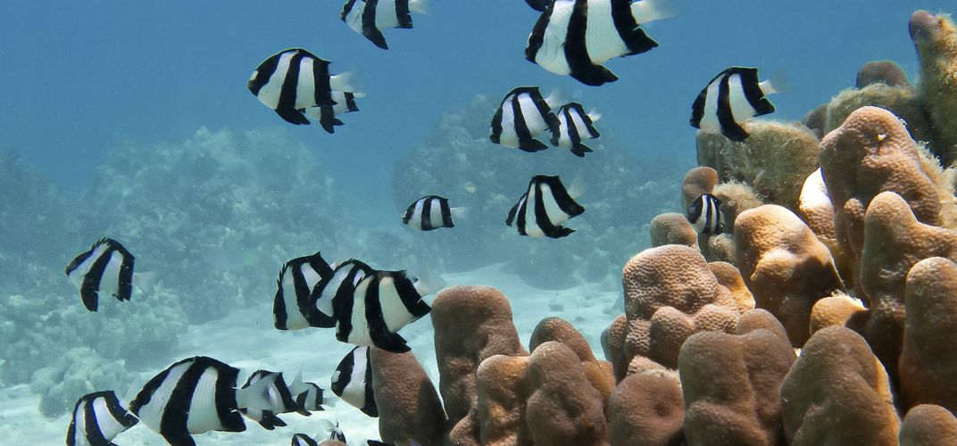 Tropical fish (Humbug Dascyllus) and pillar coral in the lagoon of Bora Bora