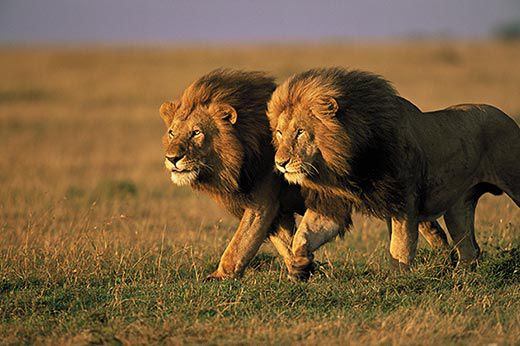 The Truth About Lions Science Smithsonian