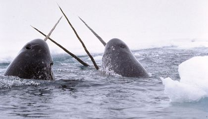 Does the Narwhal's Majestic Tusk Have a Point?