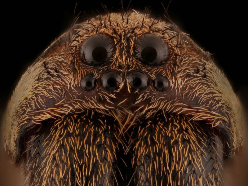 Whoa: Polygamous Wolf Spiders Have a Natural Form of Birth Control ...