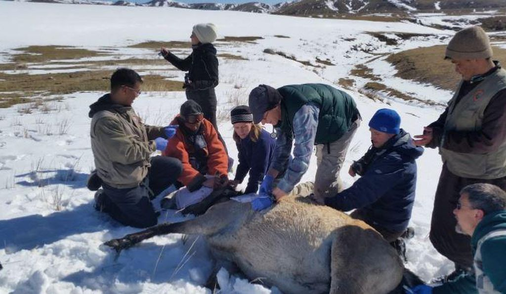 Collaring wild Przewalski's horses with satellite tracking devices