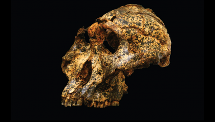 Newly Unearthed Skull Reveals How Ancient Hominids Evolved to Survive a Changing Climate