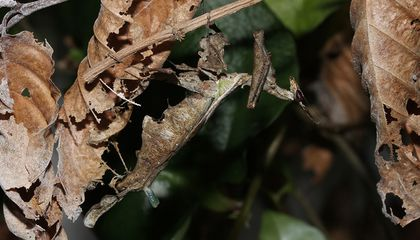 This Mantis Attracts Males With a Y-Shaped, Balloon-Like Pheromone Gland