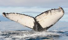 With Humans Out of the Way, Humpbacks Are Flourishing—But So Are Orcas