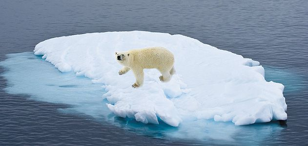 Melting sea ice is a threat to many Arctic species, including polar bears.