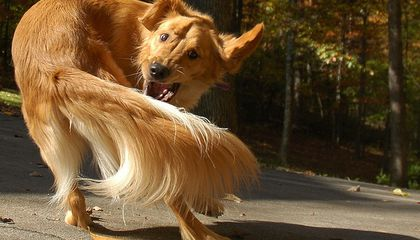 Dogs Chasing Their Tails Are Akin to Humans With OCD