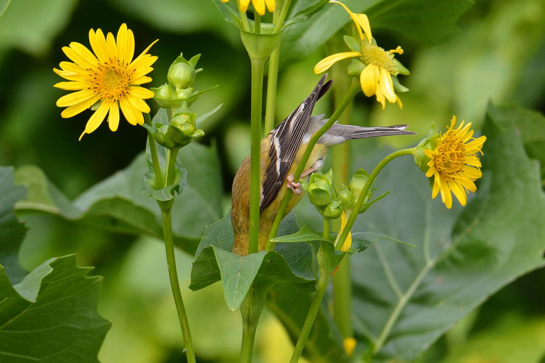 An American Goldfinch dips their head into a cup flower to drink the water collected within
