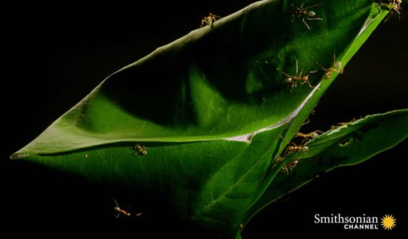 Preview thumbnail for video'Magnificent Leaf Homes Woven by Australian Green Ants