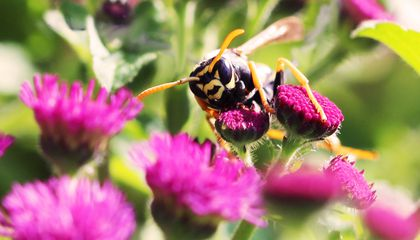 Wasps Are the First Invertebrates to Pass This Basic Logic Test