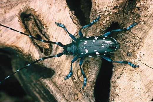 Invasion of the Longhorn Beetles | Science | Smithsonian