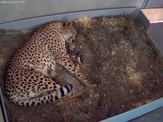 Baby Boom: Cango Wildlife Ranch's precious new additions