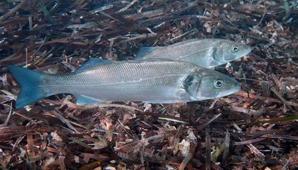 Ocean Acidification Is Frying Fish's Sense of Smell