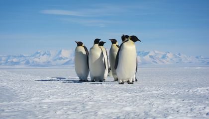 Emperor Penguins Have Some Tricks to Help Cope with Climate Change