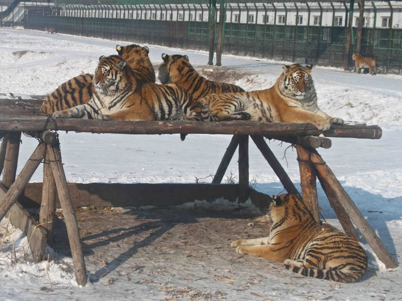investigation china covertly condones trade in tiger skins and