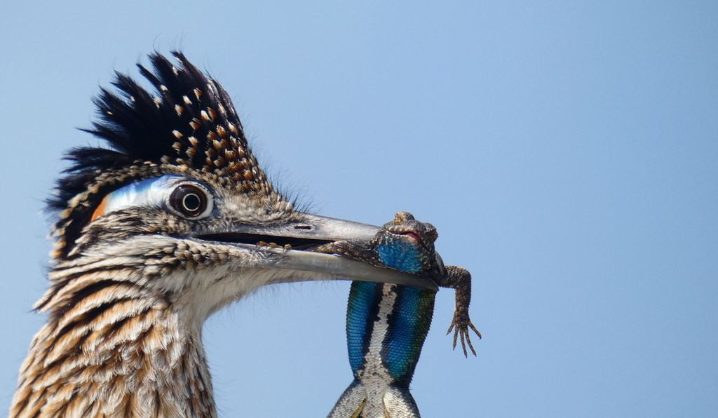 A greater roadrunner clutches a giant lizard with blue stripes in its beak.