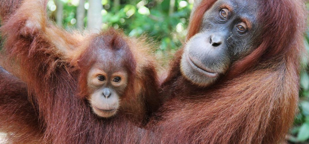 Orangutans in Gunung Leuser National Park