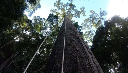 This Is the World's Tallest Tropical Tree