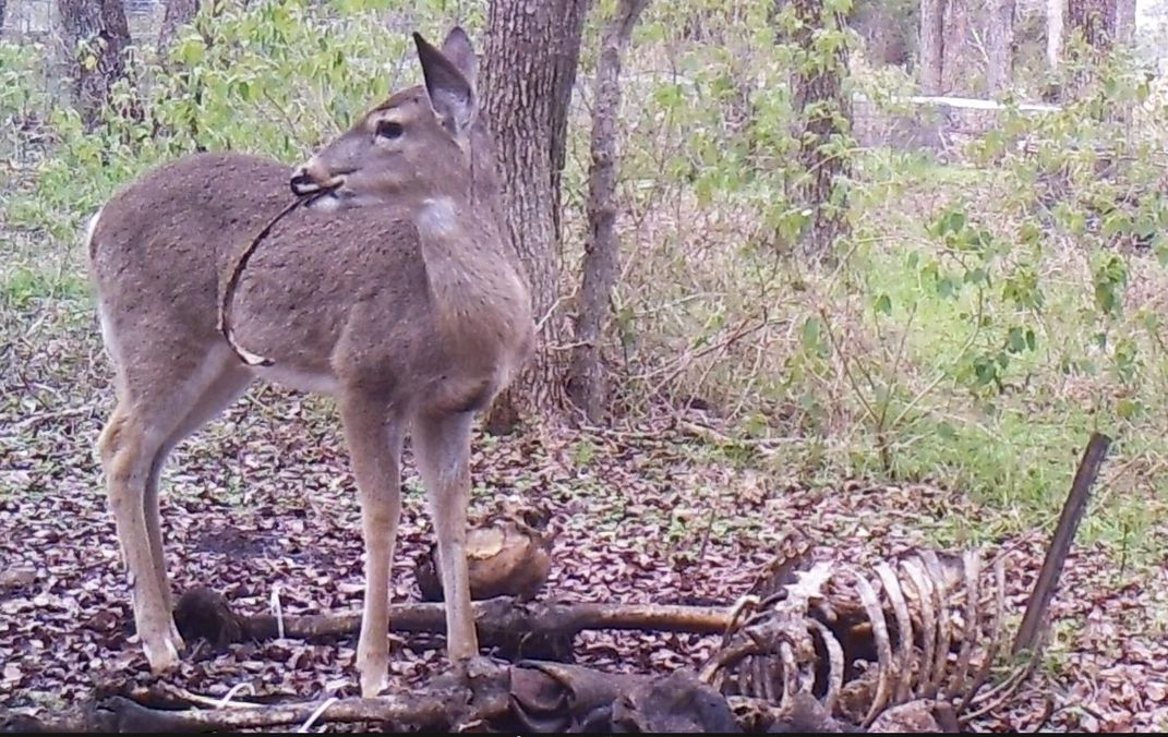 Deer Caught Gnawing on Human Bones | Smart News | Smithsonian