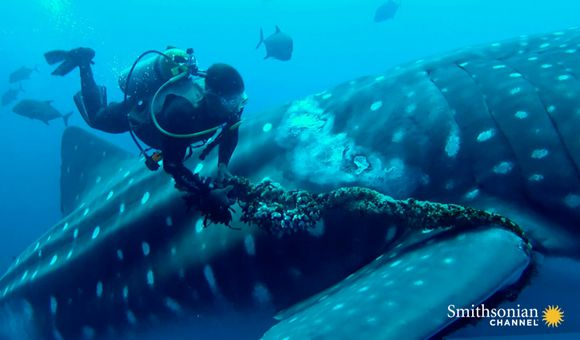 Preview thumbnail for video'A Whale Shark Cooperates With a Diver Saving Him