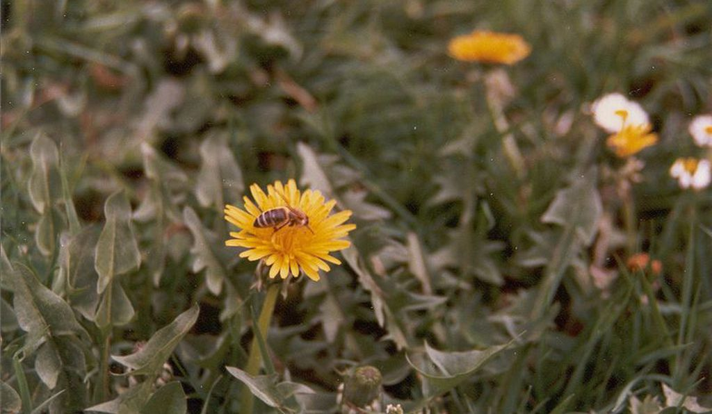 Give bees a chance—leave a little extra time between lawn-mowing sessions.