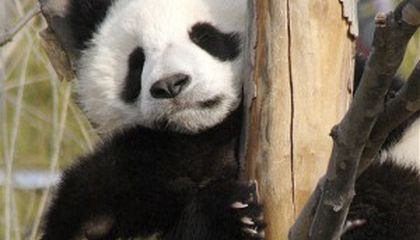 Why We Don't Have a Baby Panda