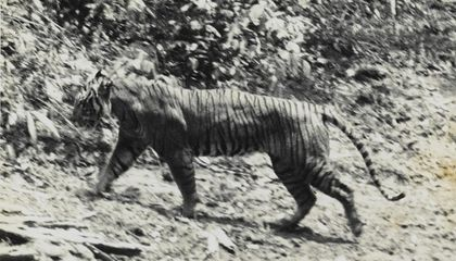 Long Thought Extinct, Javan Tiger May Have Been Spotted in Indonesia
