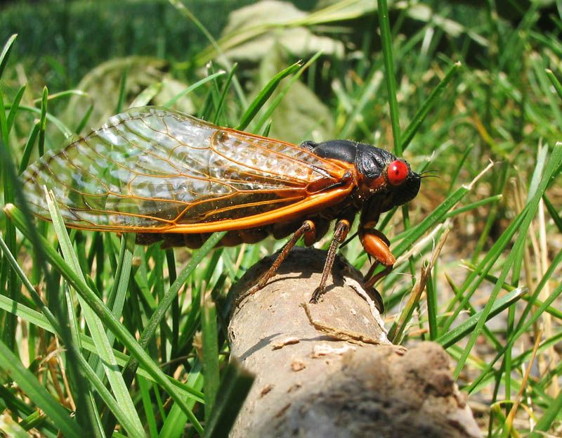 A black-bodied, red-eyed, orange-winged large insect rests on a log in the middle of green grass