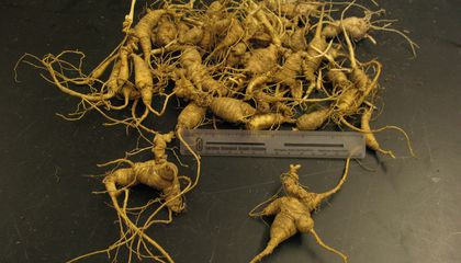 The Fight Against Ginseng Poaching in the Great Smoky Mountains