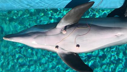 Dolphins May Be Able to Control Their Heart Rates