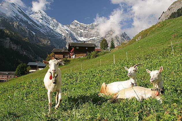 Goats in Gimmelwald Switzerland