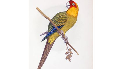 Why Did the Carolina Parakeet Go Extinct?