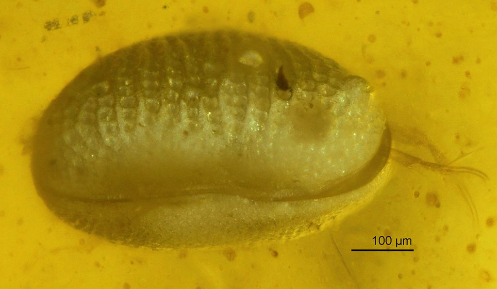 The scientists identified a new species of ostracod, <i>Myanmarcypris hui,</i> in the amber.