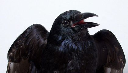 Do Crows Possess a Form of Consciousness?
