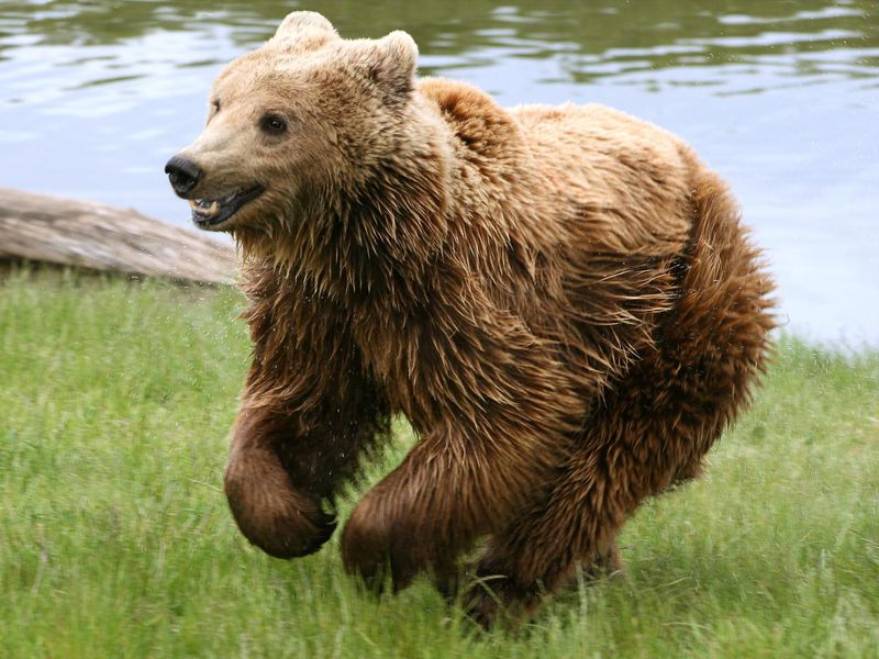 Brown_bear_(Ursus_arctos_arctos)_running.jpg