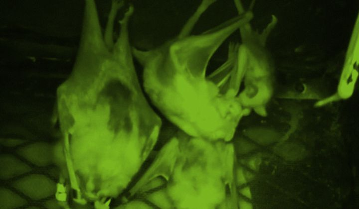 Foster mother, BD, feeds her adopted vampire bat pup in a captive bat colony at the Smithsonian Tropical Research Institute in Gamboa, Panama (surveillance camera image from Gerry Carter lab)