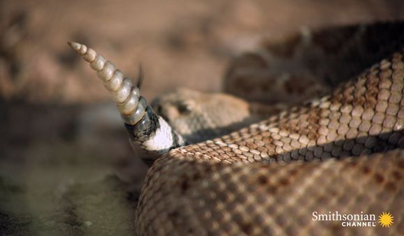 Preview thumbnail for video'What Is a Rattlesnake's Rattle Actually Made of?