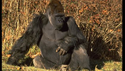 Can Great Apes Be Vaccinated Against Ebola and Other Diseases?