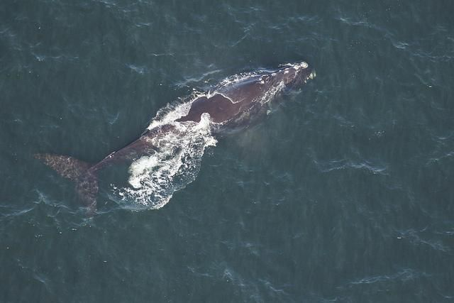 Magnet Right Whale
