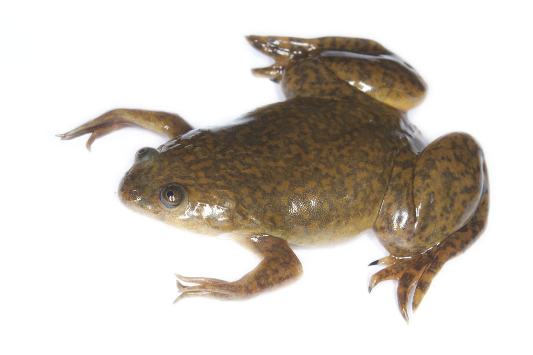 The African clawed frog is one of the most popular frogs used in research laboratories worldwide.