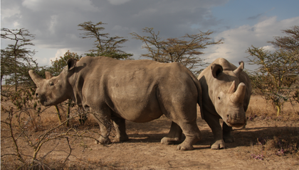 With Hybrid Embryo, Scientists Are One Step Closer to Saving the Northern White Rhino